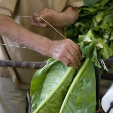 Coltivazione del tabacco e sistemazione delle foglie
