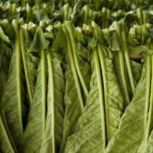Coltivazione del tabacco e essiccazione delle foglie