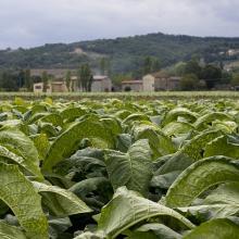 Coltivazione del tabacco