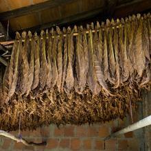 Essiccazione foglie di tabacco