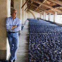 L'uva stesa ad appassire per ottenere il vino Cardinal Buonvisi realizzato dal fattore Armando Scaramucci