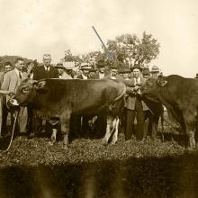 Anni '30. Il toro Buonviso e un secondo toro. Al centro, indicato dalla freccia, il Conte Vincenzo Giustiniani con a destra il fattore Giammattei