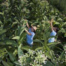 Coltivazioni del tabacco: fase della raccolta